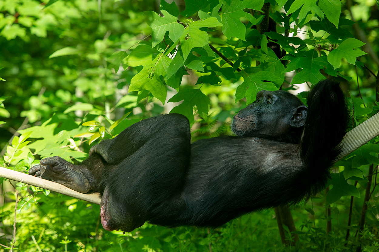 Emma relaxes on a firehose swing. NEAVS's sponsorship of Emma continues to provide for all of her exemplary care at the sanctuary. Photo credit: Joan Miller, Project Chimps.