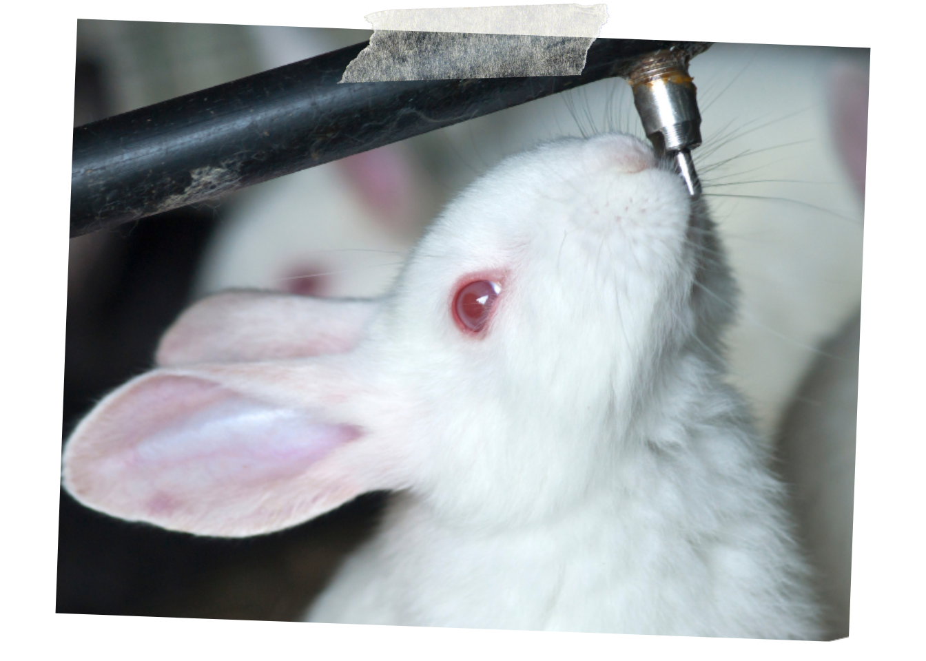Demand that Southern Research be fined for leaving rabbits to suffer - No laboratory should be allowed to leave innocent rabbits to suffer a painful death because they are not adequately staffed. Join us in asking the USDA's Animal Care Division to levy the maximum fine to Southern Research for this negligence.