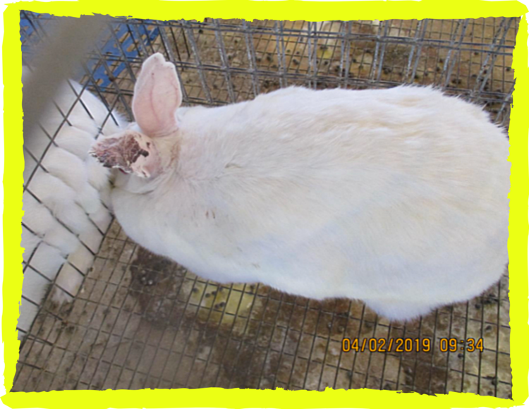 Rabbit with dried blood on his or her ear inside a filthy building at Novus Biologicals, April 2019