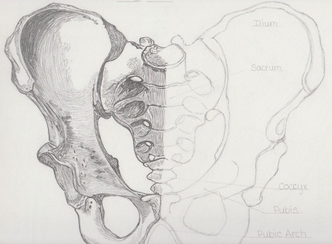 Pelivs Anatomy Study