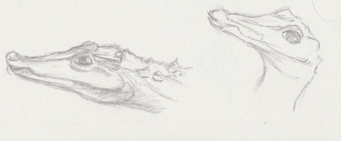 Alligator Zoo Sketch