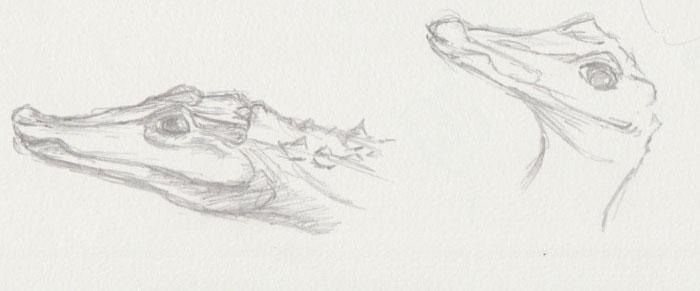 Alligator Zoo Sketch