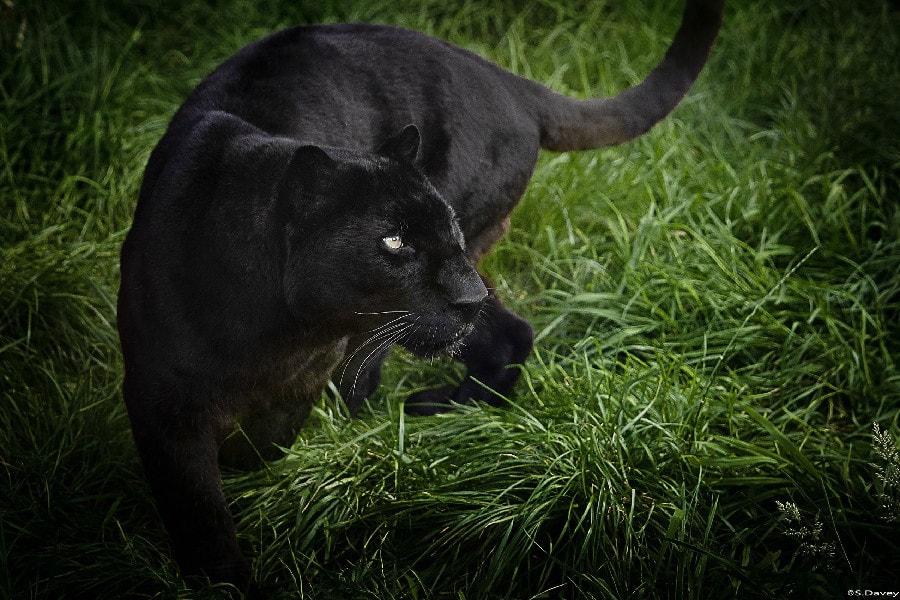 leopard-font-b-panther-b-font-wild-cat_orig.jpg