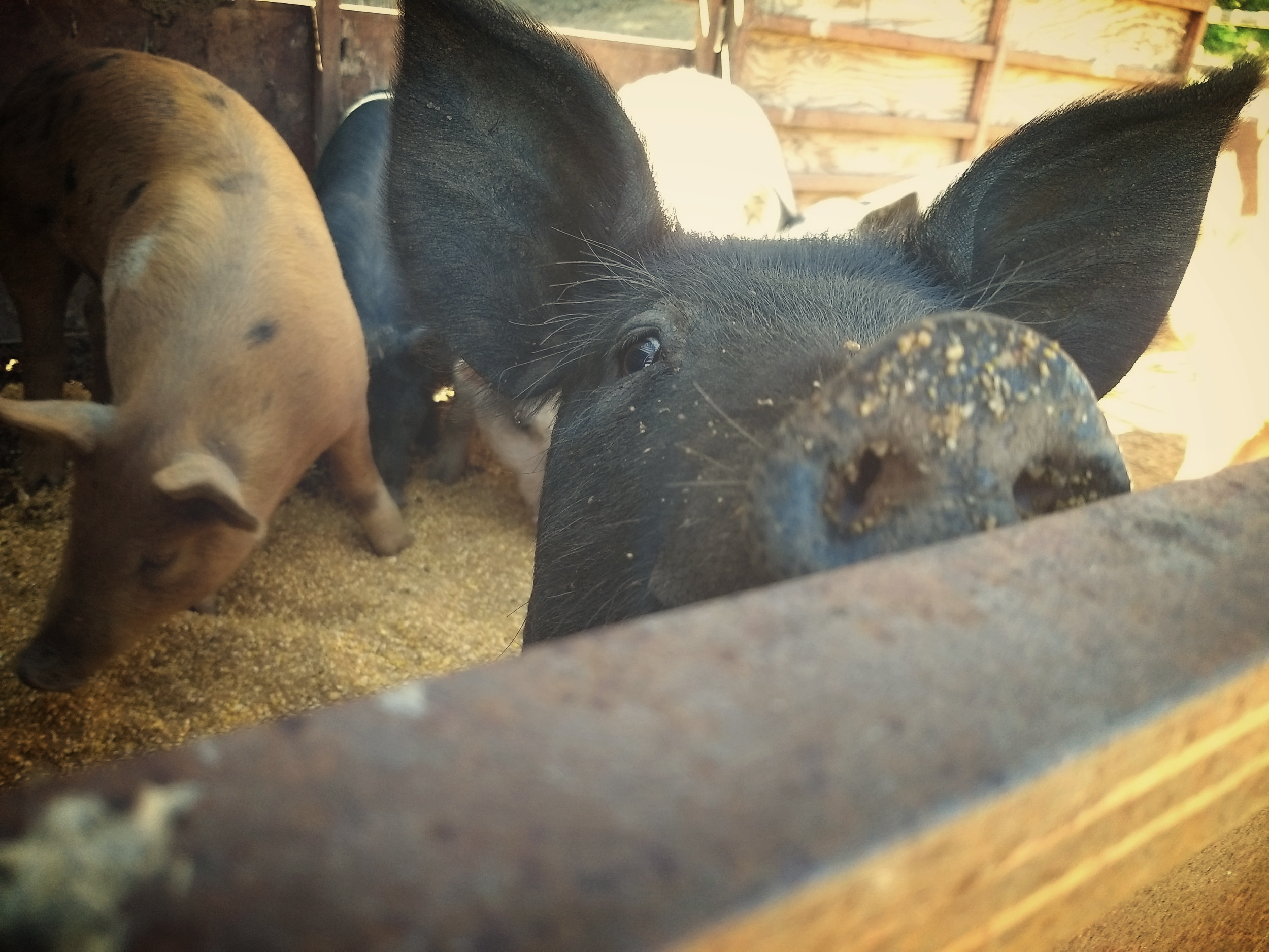 The Pigs - The piggies have spent the latter half of September and most of October on the front side of the ridge since we got them. The hope was that they would perhaps roll around in the pond there and seal it so that it would start catching run off rain and hold water again. Unfortunately these pigs were just too young to really know how to do this and with the weather getting cold they needed more space to forage and move. So we set the trailer up in their pen and got them use to eating in it so they would load up easily and we could move them to the big pen. After a few days of feeding they joyfully ran into the trailer and were calmly moved to their big field where they are enjoying acorns, roots and all sorts of new things to eat and play with!!