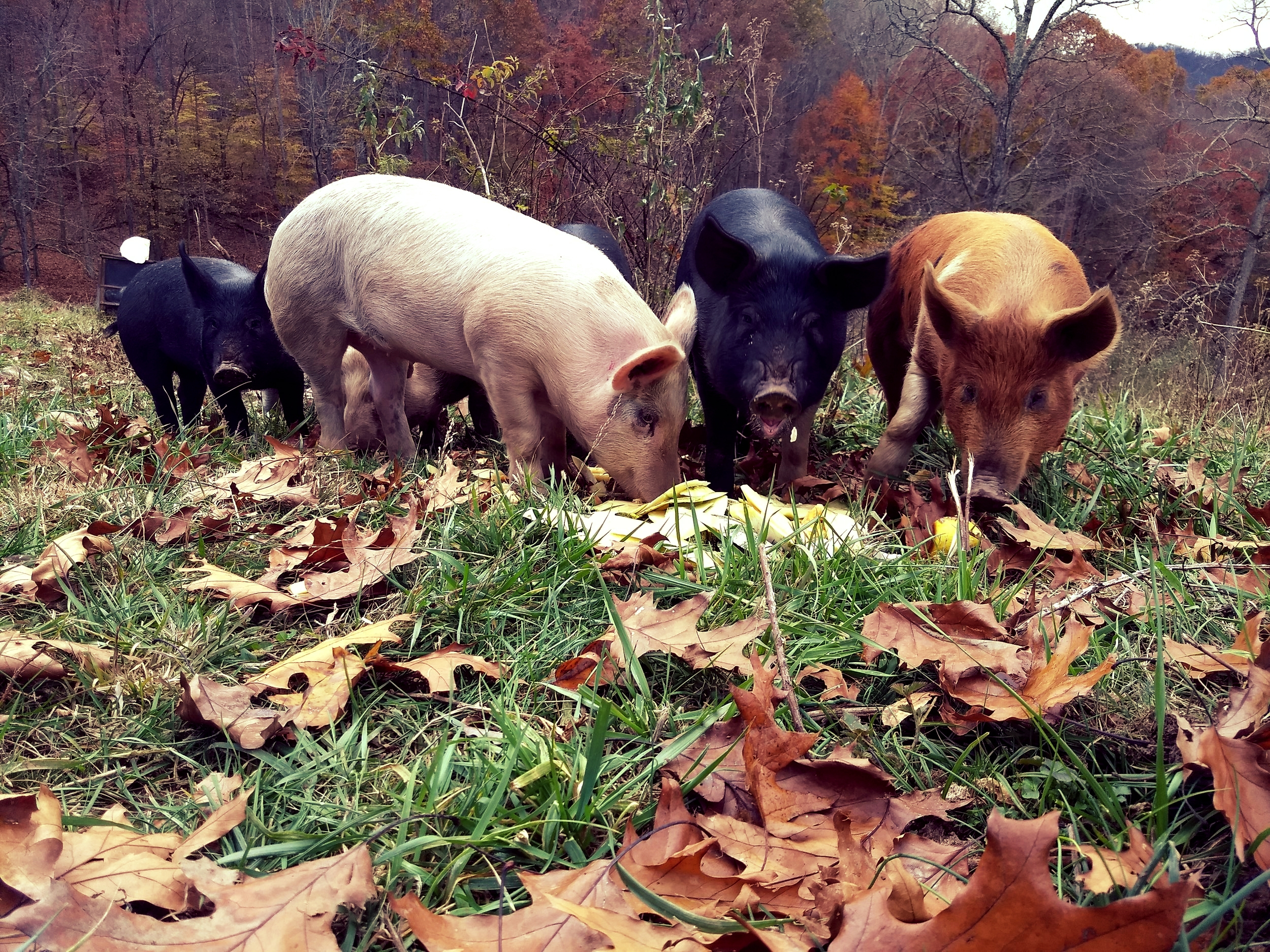 The Pigs - The pigs have continued to do well through this cold fall weather. We did have their pond freeze over and the pipe freeze a few times. Thankfully it was during the wetter cold days so they weren't requiring quite as much water. They are definitely getting very big and fattening up well! As you can see in the picture they are enjoying some delicious squash peelings.