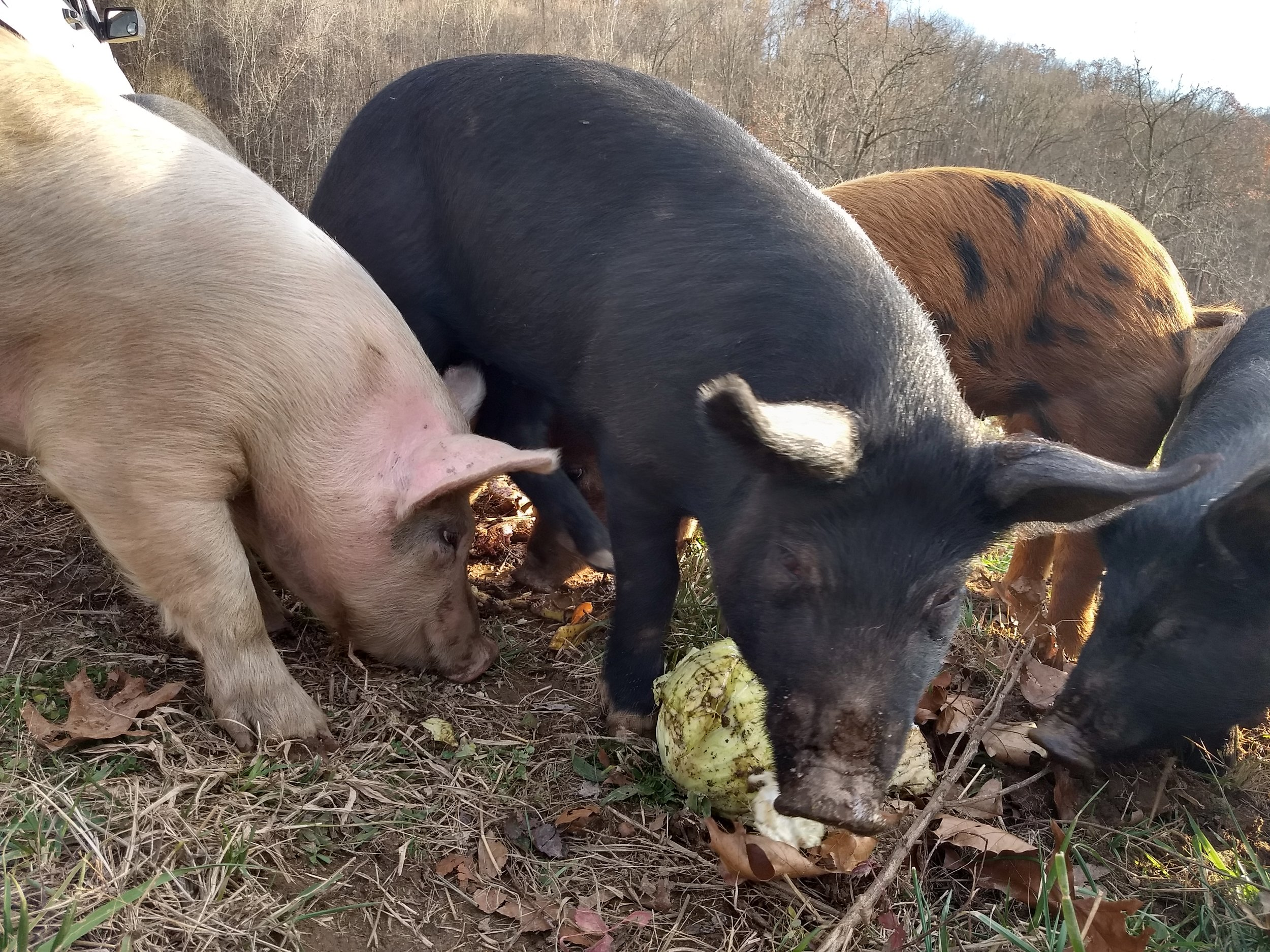 Winter Pork Soon! - Well, December wasn't extremely busy for Ararat Farm. Just a few big things took place to keep the farm busy and allowed Christmas to sneak up on us. We have Winter Pork coming up very soon so please be aware and ready when we open up orders. We will be using the website to do orders so please bear with us as it is a new endeavor for us. We will email you when orders will be open along with an end date.