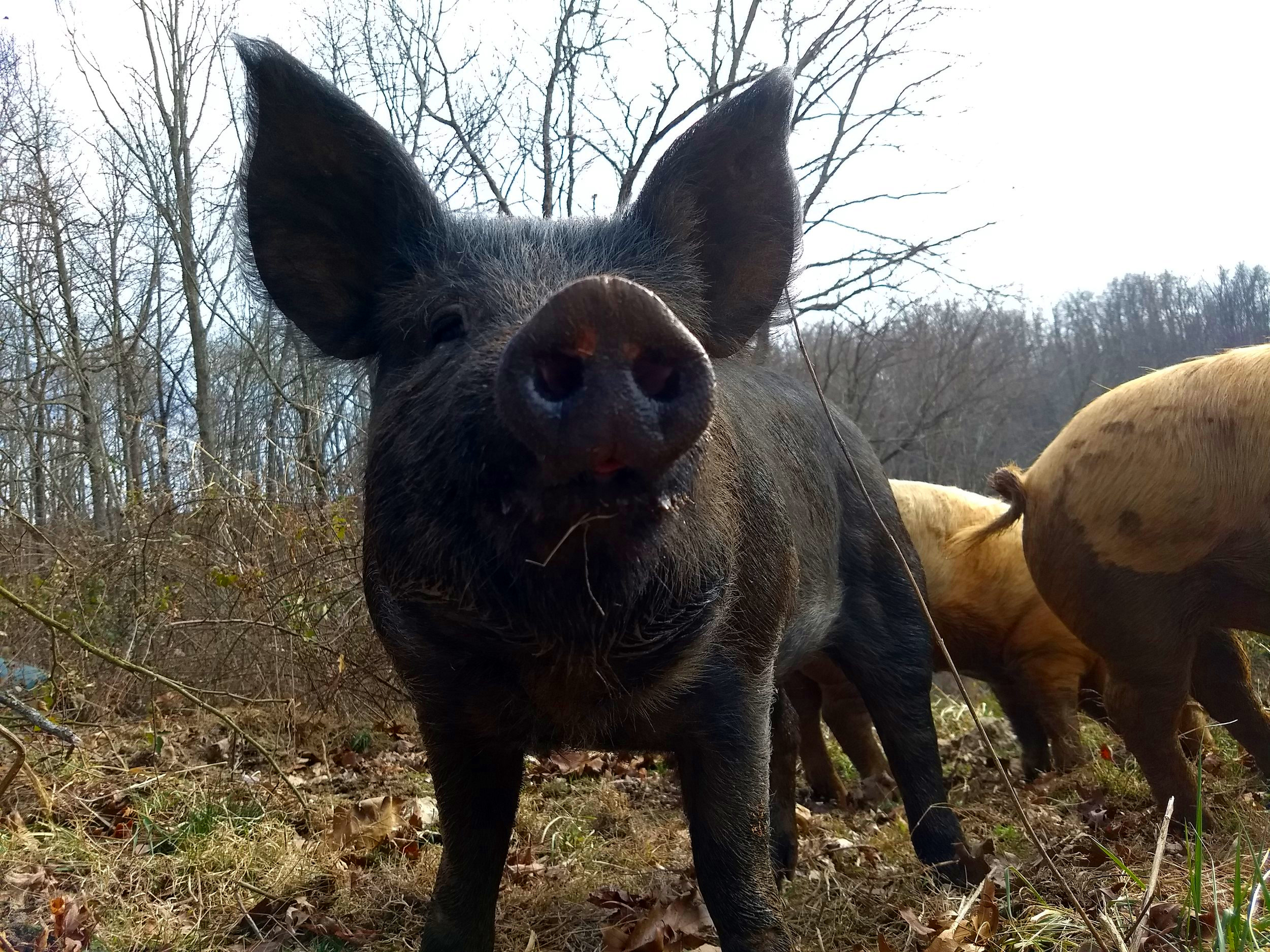 The Pigs - The piggies have done very well through this winter. They rooted up the field and foraged so much that we are going to have to give the field a rest for a little while.
