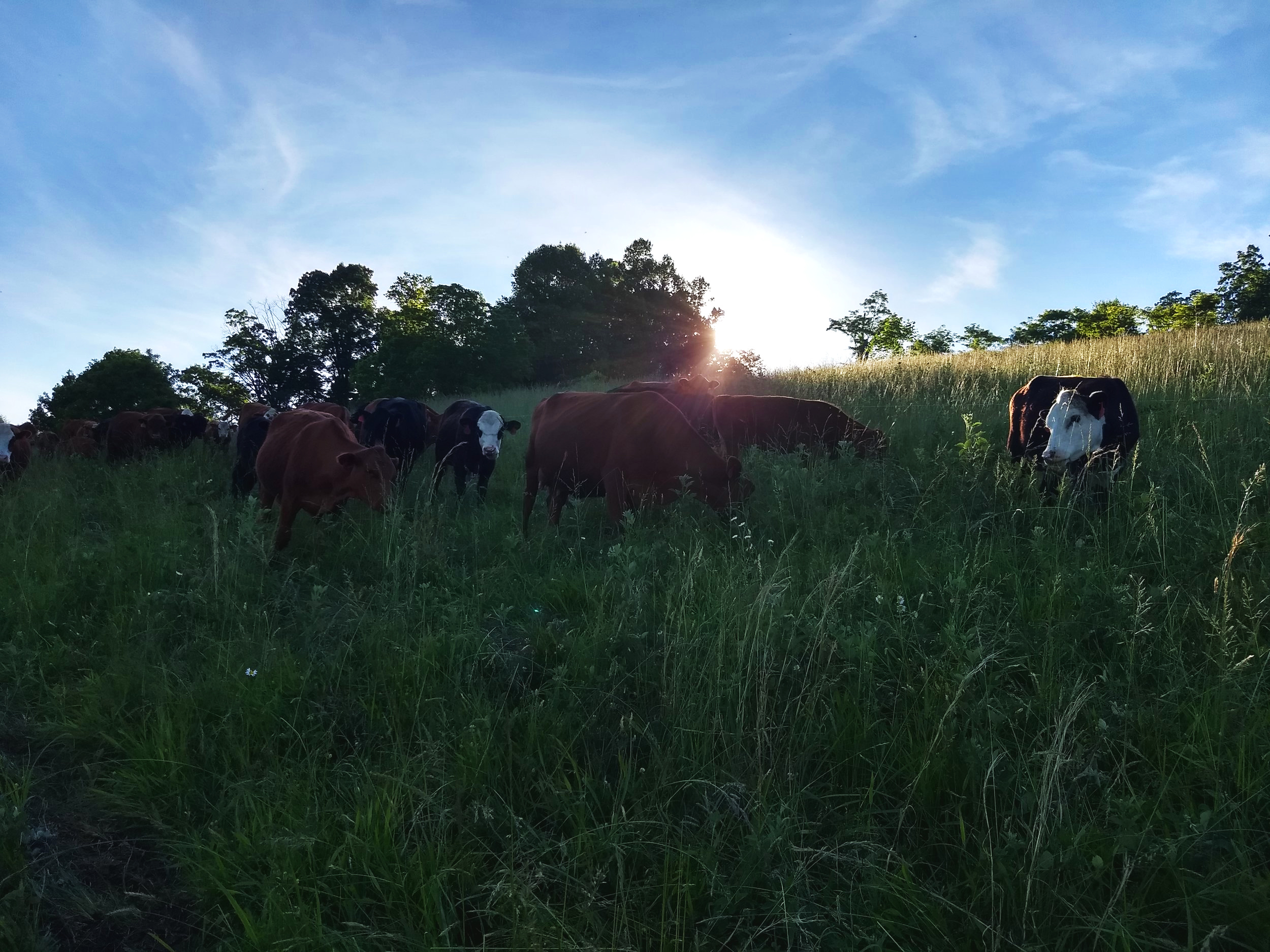 Happy Cows - The fields have grown so tall and the cows are enjoying the rich salad bar. We are doing the daily rotations and starting to do them twice daily as the days allow it. The cows have lost their winter coat and have smooth slick coats and fat bellies.