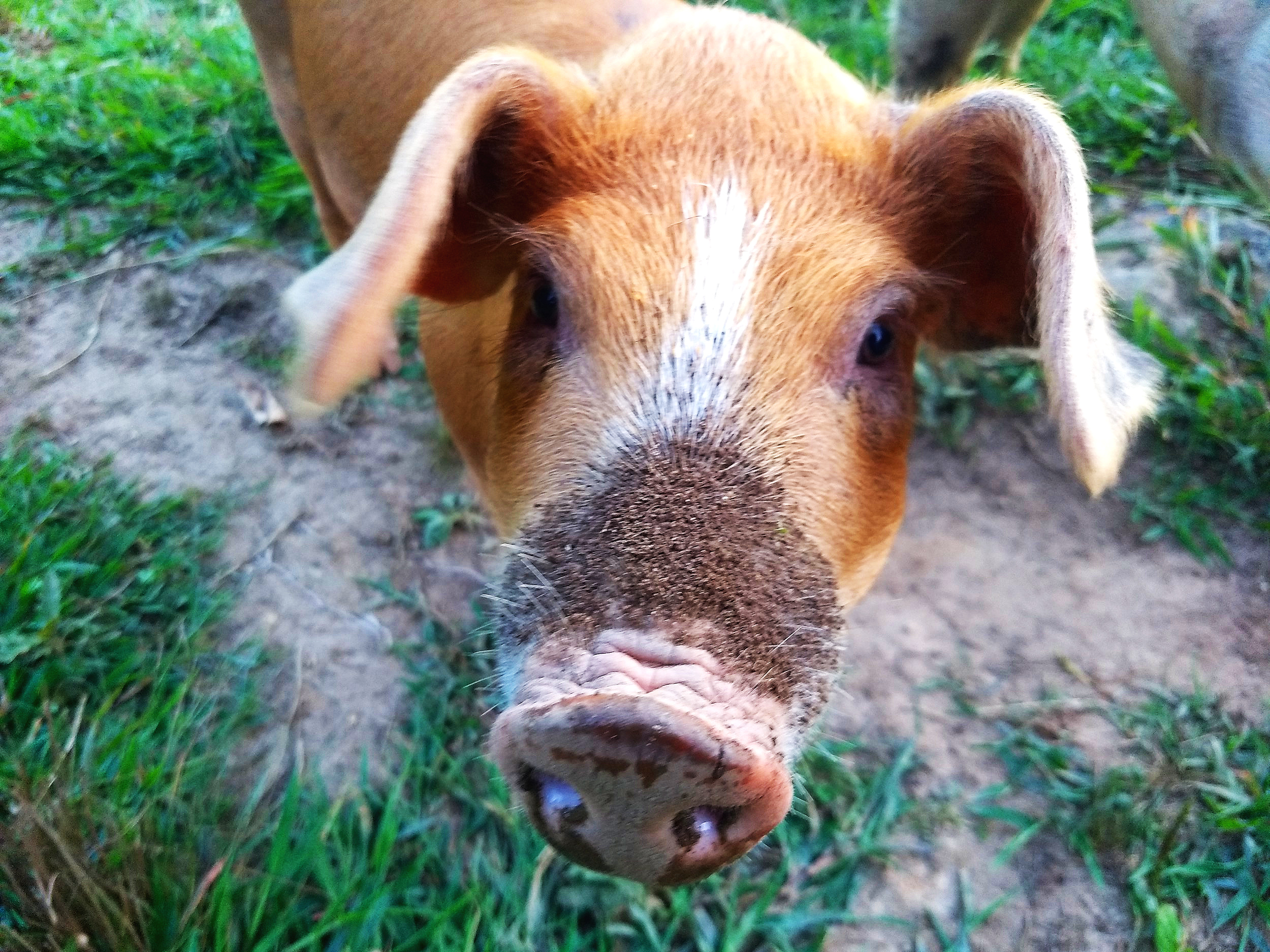 The Pigs - The pigs are doing well. They continue to fatten for Fall Pork coming up. We are hoping for a good acorn crop this year which makes the pork taste really good and gives them lots to forage on. Last years acorns didn't do well but it's looking a lot more promising.
