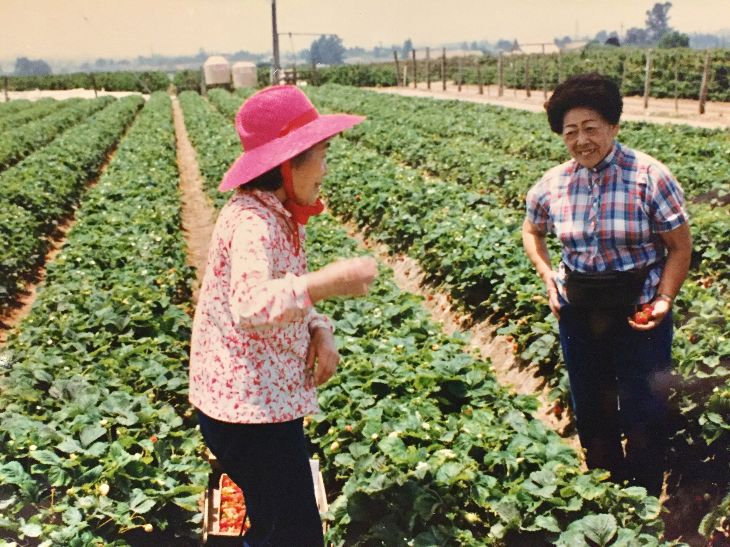 Tommy and her sister June picking strawberries in Watsonville