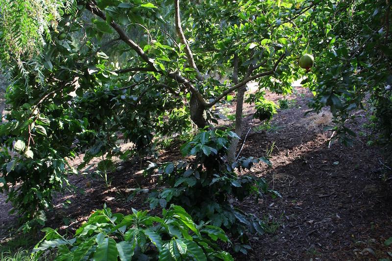 A Gesha tree at Good Lands Farm in Goleta, California