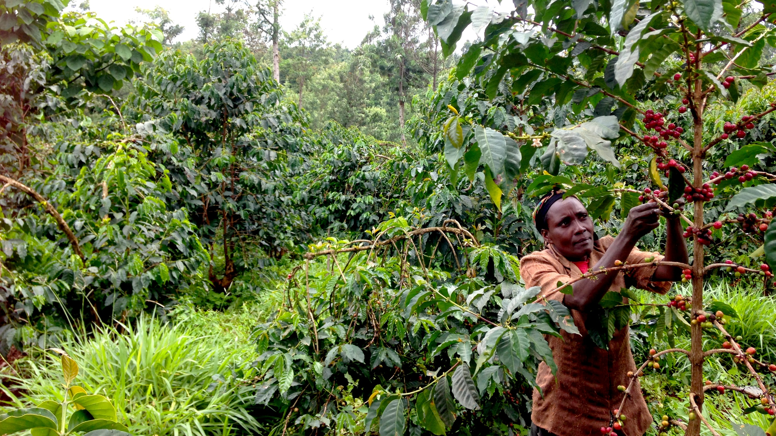 Harvesting Kenya coffee cherry