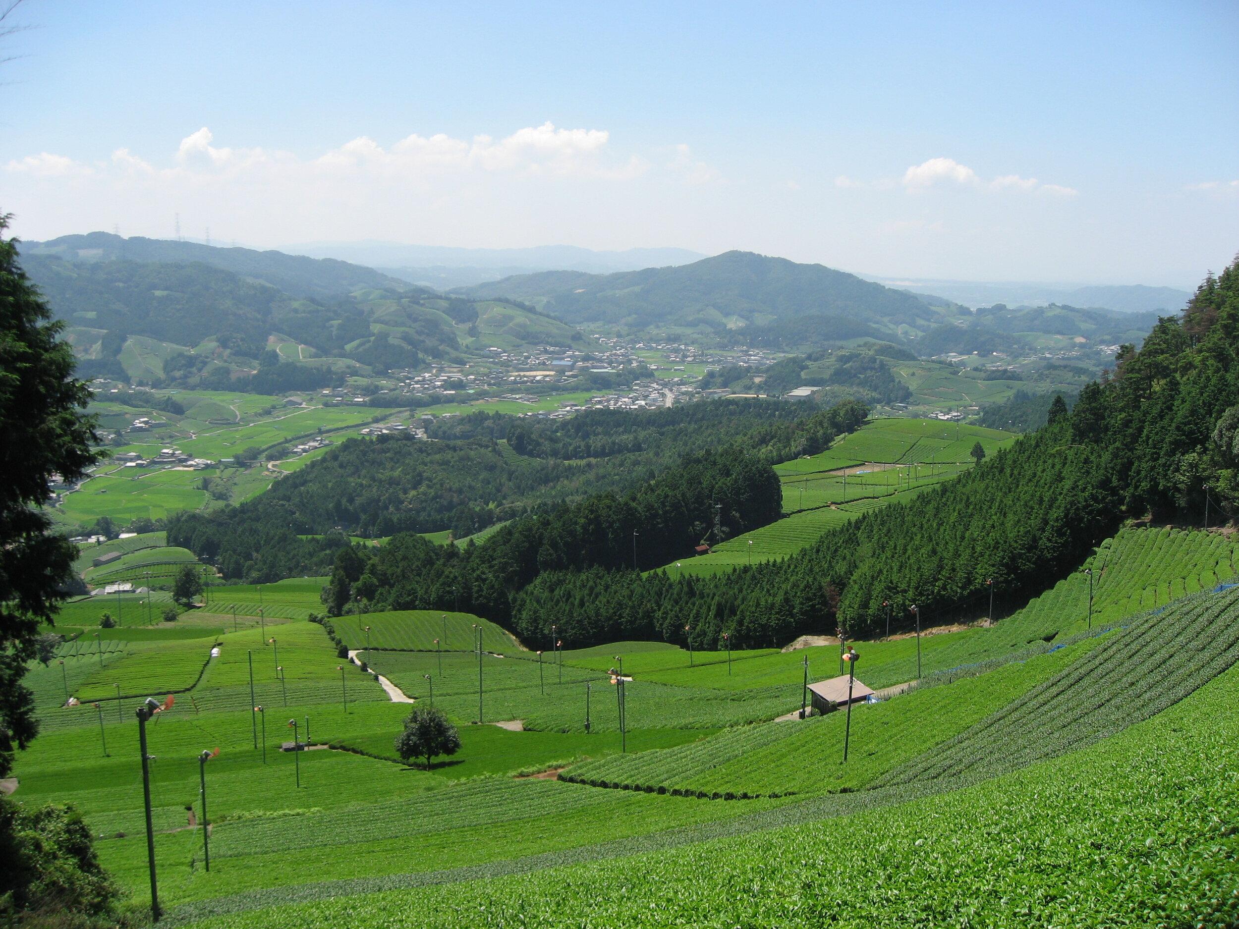 Hojicha fields in Wazuka where we source our Uji tea