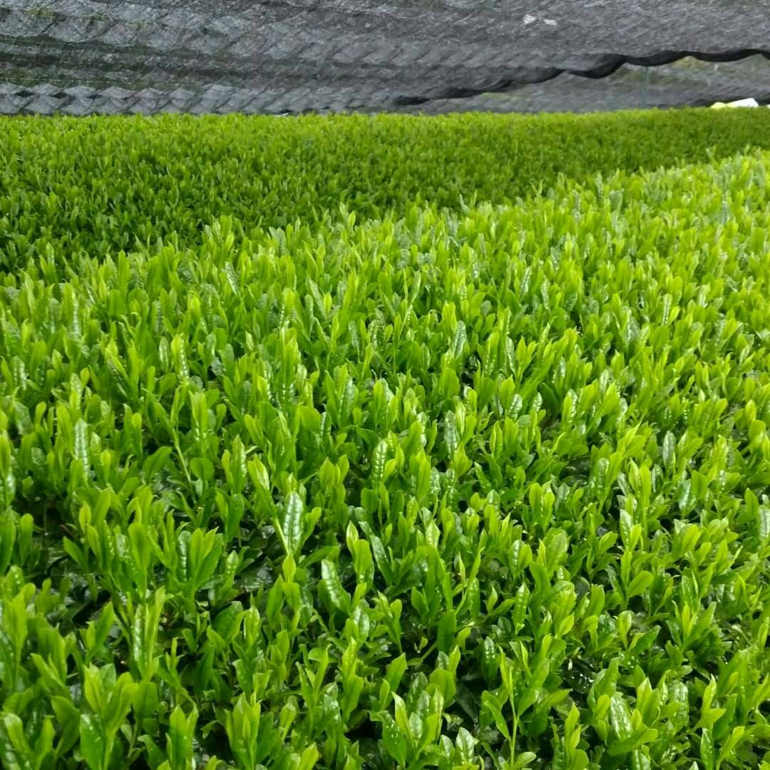 Fields of sencha that will become matcha.