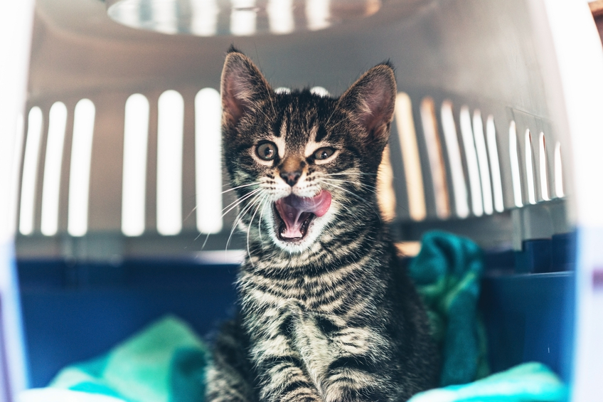 Transportation - Sometimes, our foster parents aren't able to drive their kittens to and from appointments and events. Becoming a transporter is a great way to help!