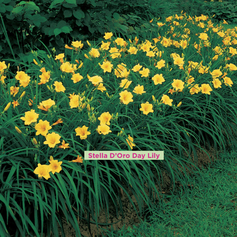 day lily.png