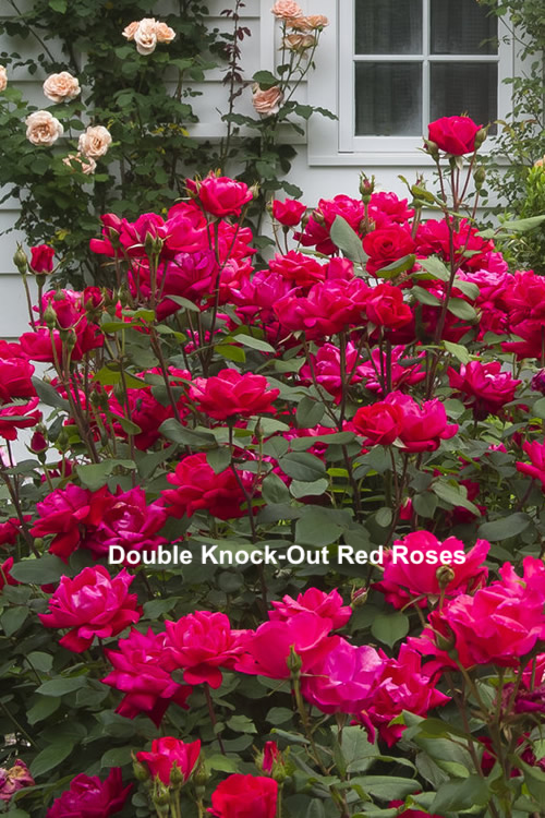 Double Knock-Out Red Roses.png