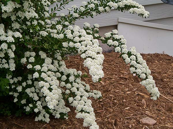 Bridal Wreath Spirea -