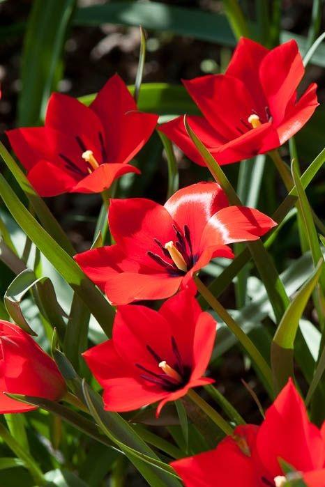 Foto van rood tulpje met zwart hart. Tulipa linifolia. Bron:   Alan Buckingham   op   flickr