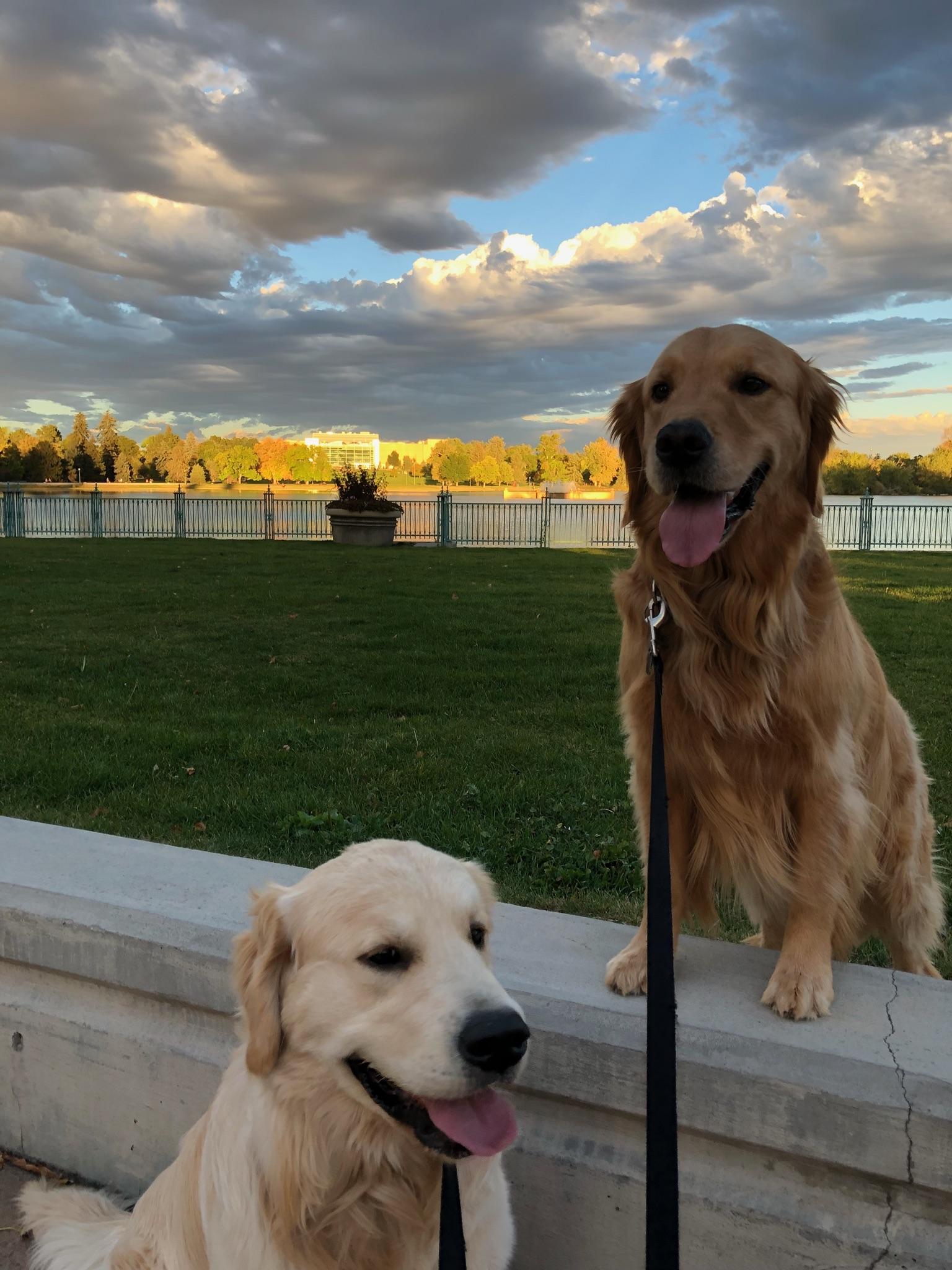 Two golden retrievers on leash // Dog Walking, Denver, CO