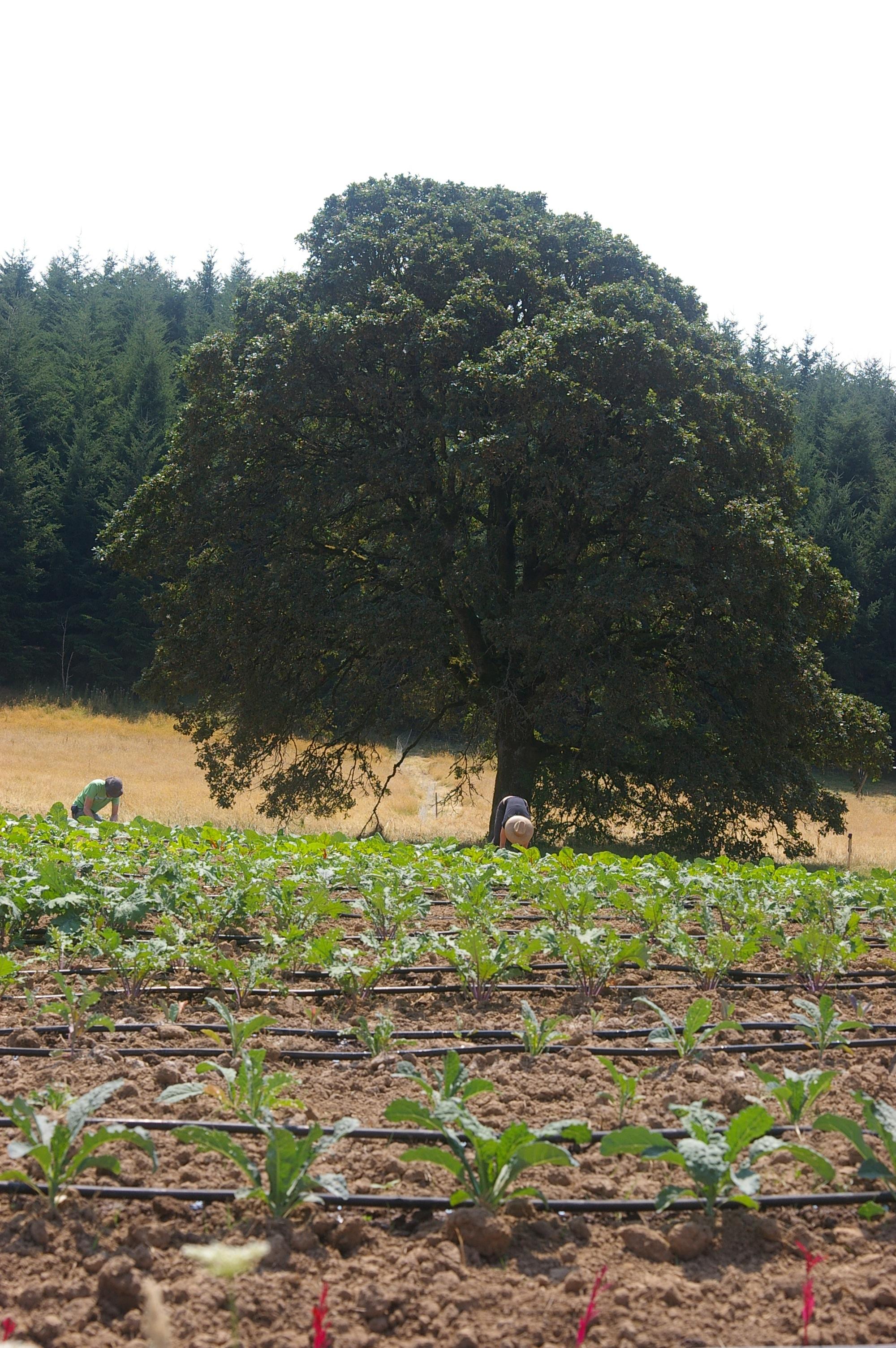Oak Tree2.JPG