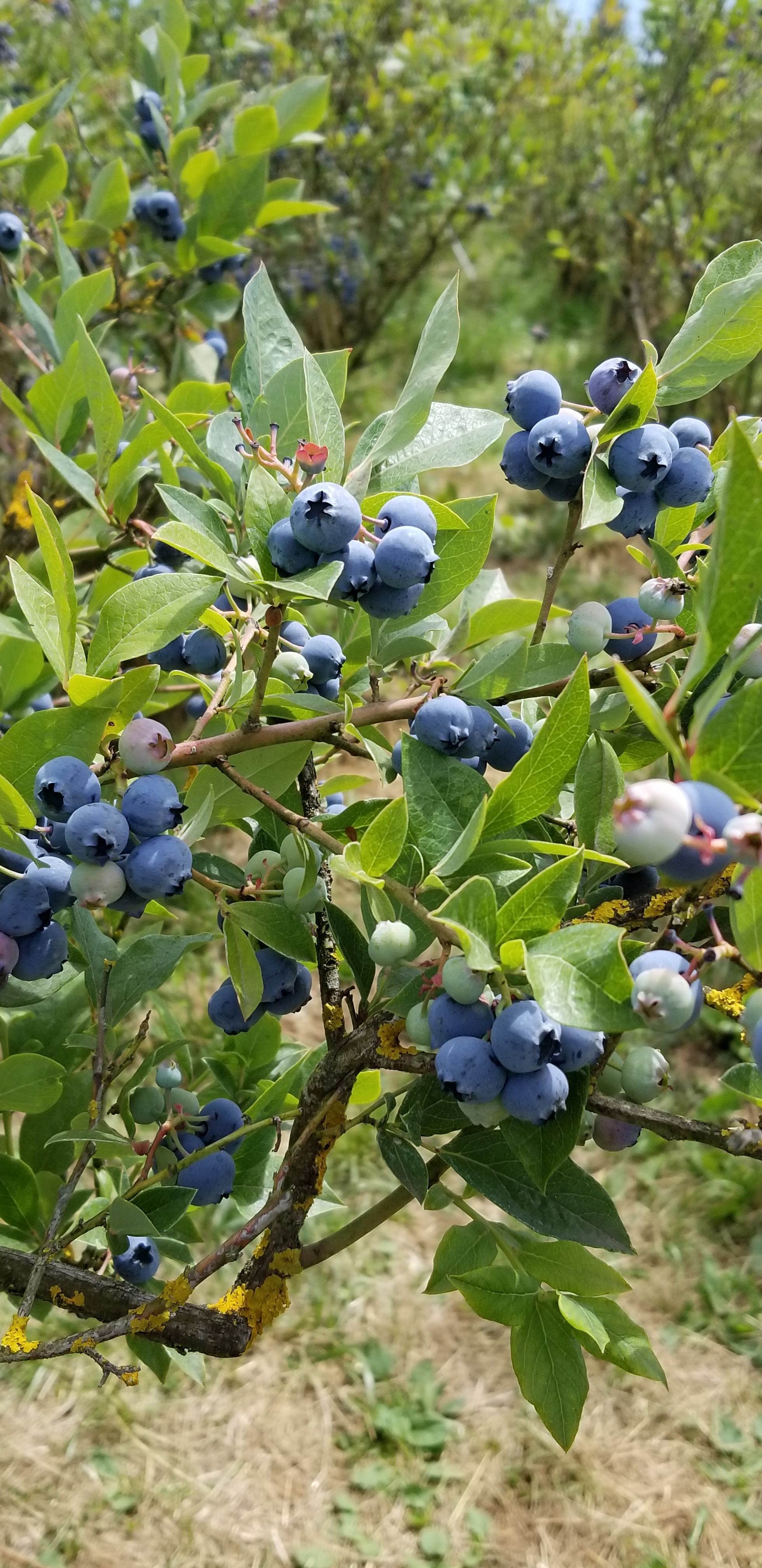 Organic Blueberries, ripe for the picking!
