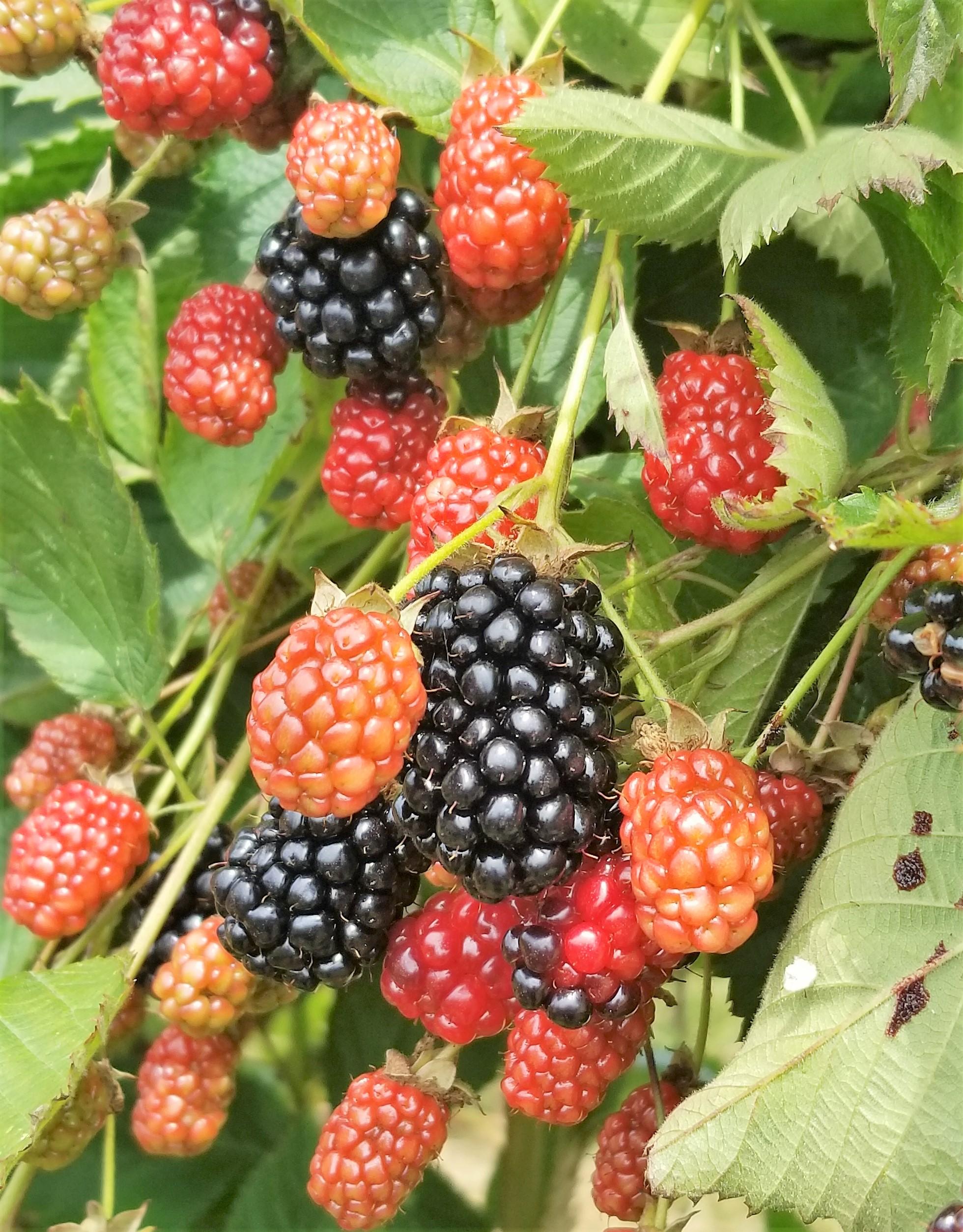 Ripe, juicy blackberries!