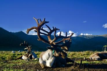 reindeer 6.jpg