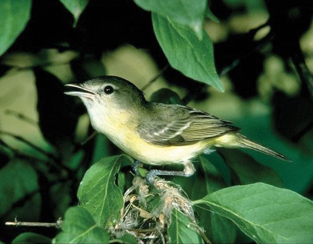 least Bell's vireo - Nesting Bird Surveys