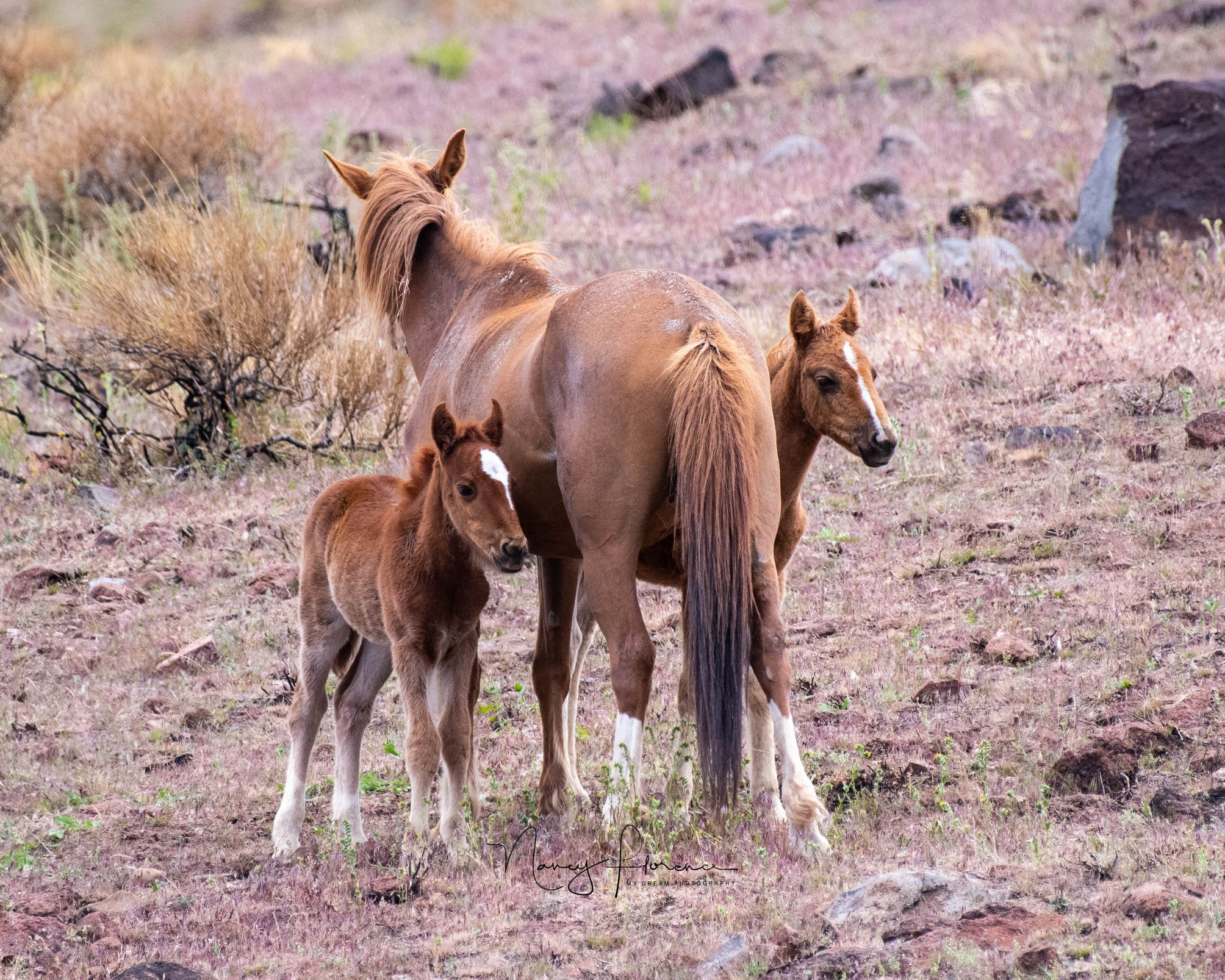 Legacy, with her foal Tatonka and orphan Archer. Photo by Nancy Florence.