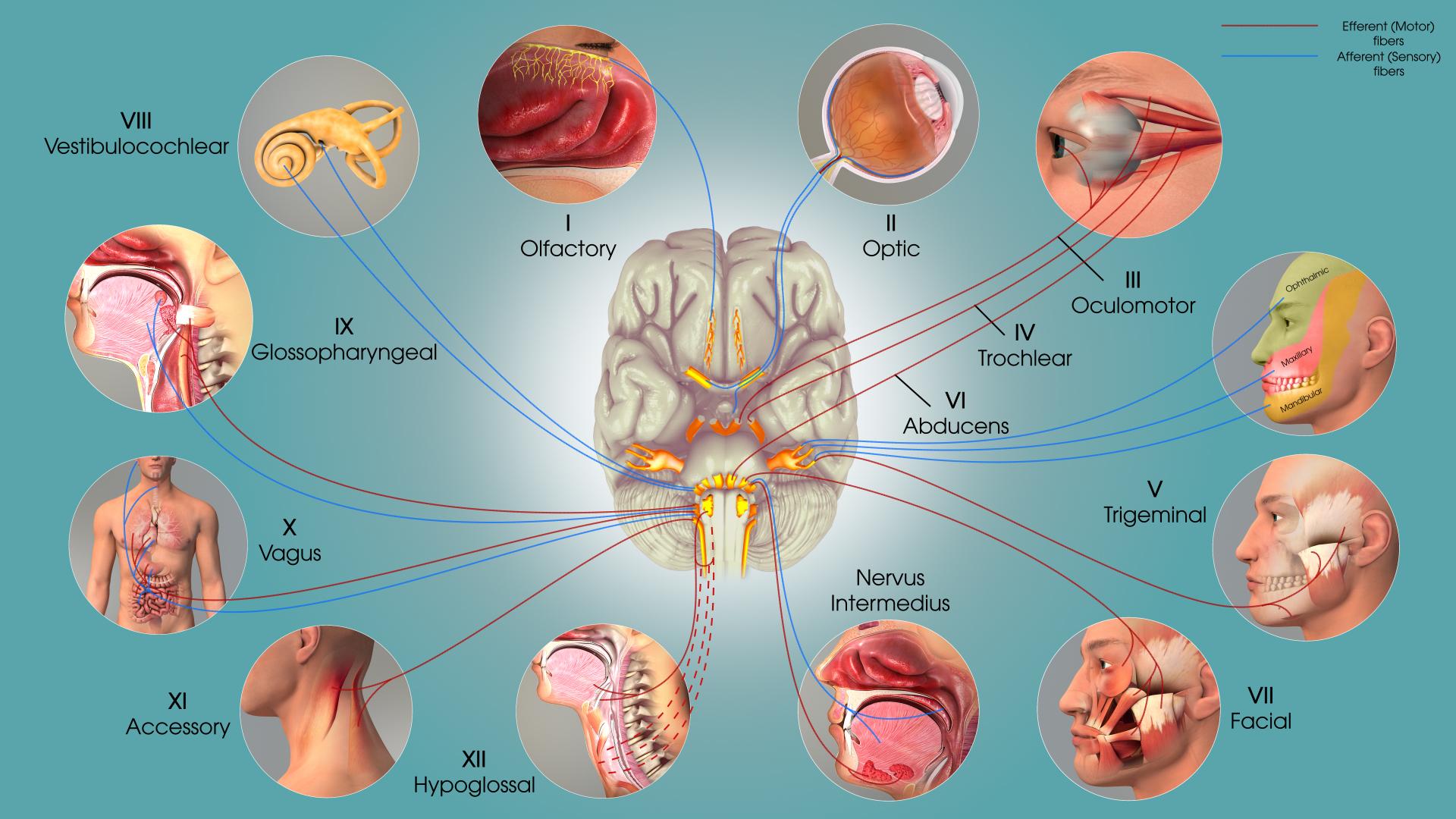 Cranial-nerves.jpg