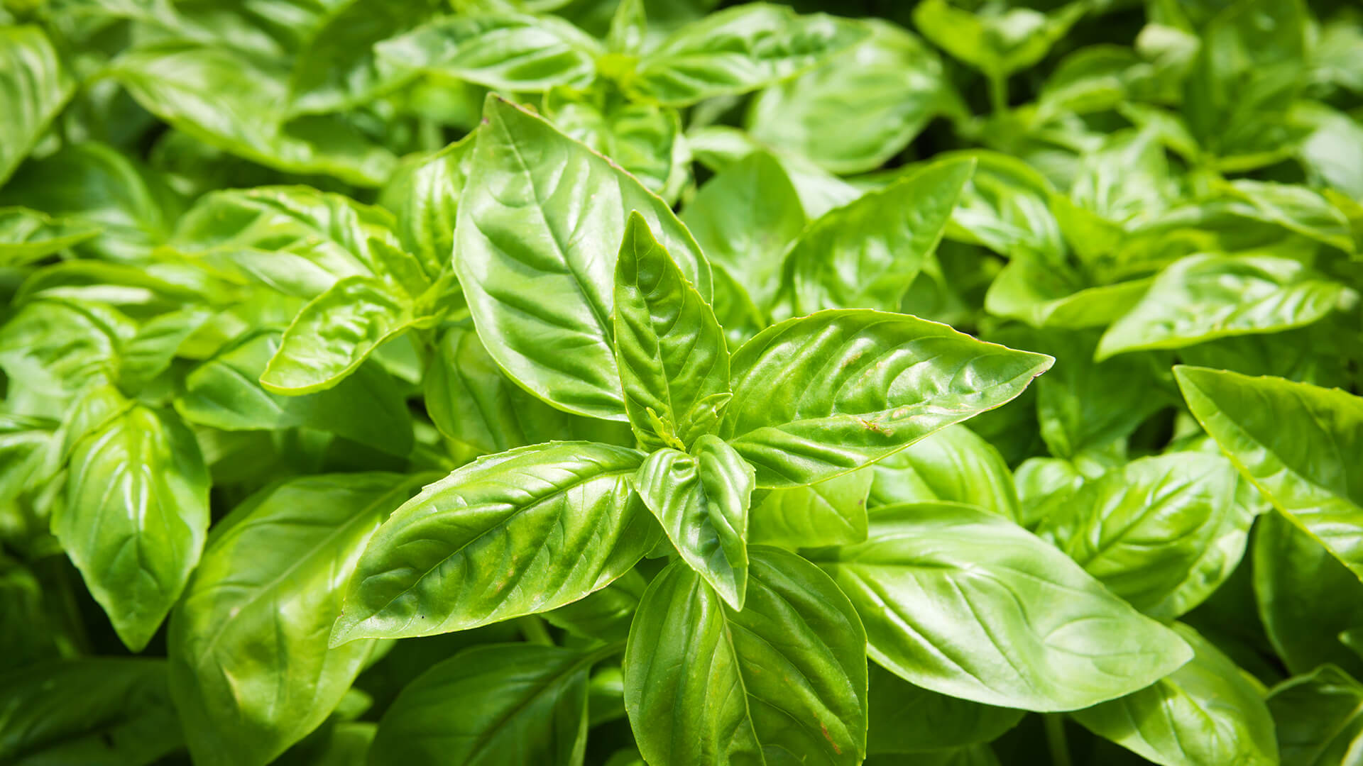 Basil - We love it for its natural sweetness and awesome flavour. It is the ideal partner to Thyme, Rosemary and Oregano.