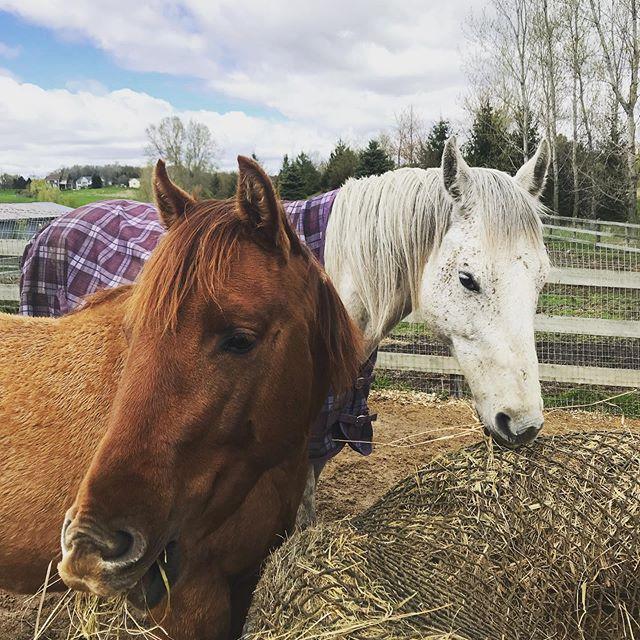 Green grass and blue skies! GIVEAWAY ANNOUNCEMENT coming this WEEKEND! Stay tuned!  #equestrian #equestrianstyle #equeatrianart #equestrianlife #equestrianliving #equestrianlife #hunterjumper #showjumping #dressage #eventing #horses #horsesofinsta #giddyup #smallbusiness #OTTB #aqha #arabian #warmblood #ponies #mare #gelding #eventers #hoofda #haychix #barrelracing #polebending