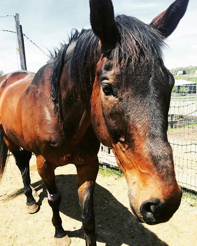 "Shadow is the essence of ""Barn Hair - Don't Care."" New product released TOMORROW - stay tuned!  #equestrian #equestrianstyle #equeatrianart #equestrianlife #equestrianliving #equestrianlife #hunterjumper #showjumping #dressage #eventing #horses #horsesofinsta #giddyup #smallbusiness #OTTB #aqha #arabian #warmblood #ponies #mare #gelding #eventers #hoofda #barrelracing #polebending #poleweaving #socialenterprise #barnfamily"