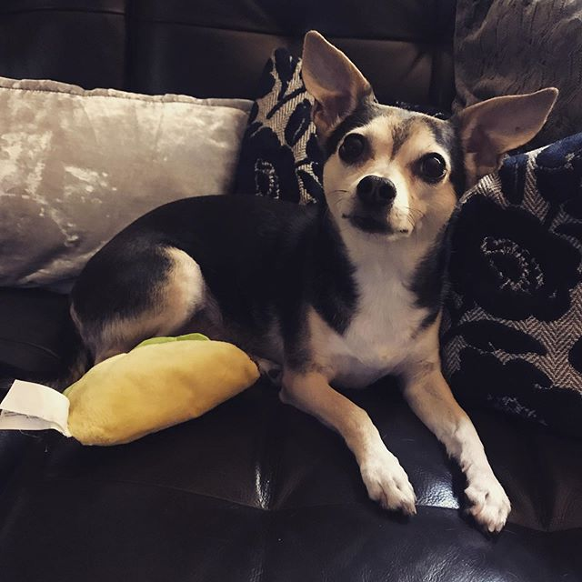 """Taco Tuesday! Hard to get work done when this one wants to play...working on a """"glow-up"""" of the website! Coming soon! #tacotuesday #chihuahuamix #copilot #letmamawork #websiteoverhaul #notsurewhatimdoing #womanowned #whatdoesthisbuttondo #sendhelp #glowup #ihatetechnologysometimes"""