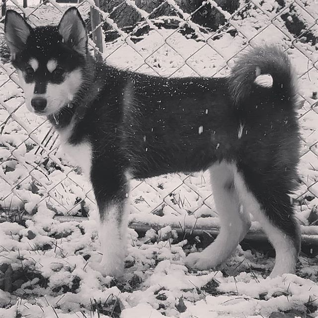 My new fishing partner is enjoying the snow for the first time. #malamute #puppy #snow