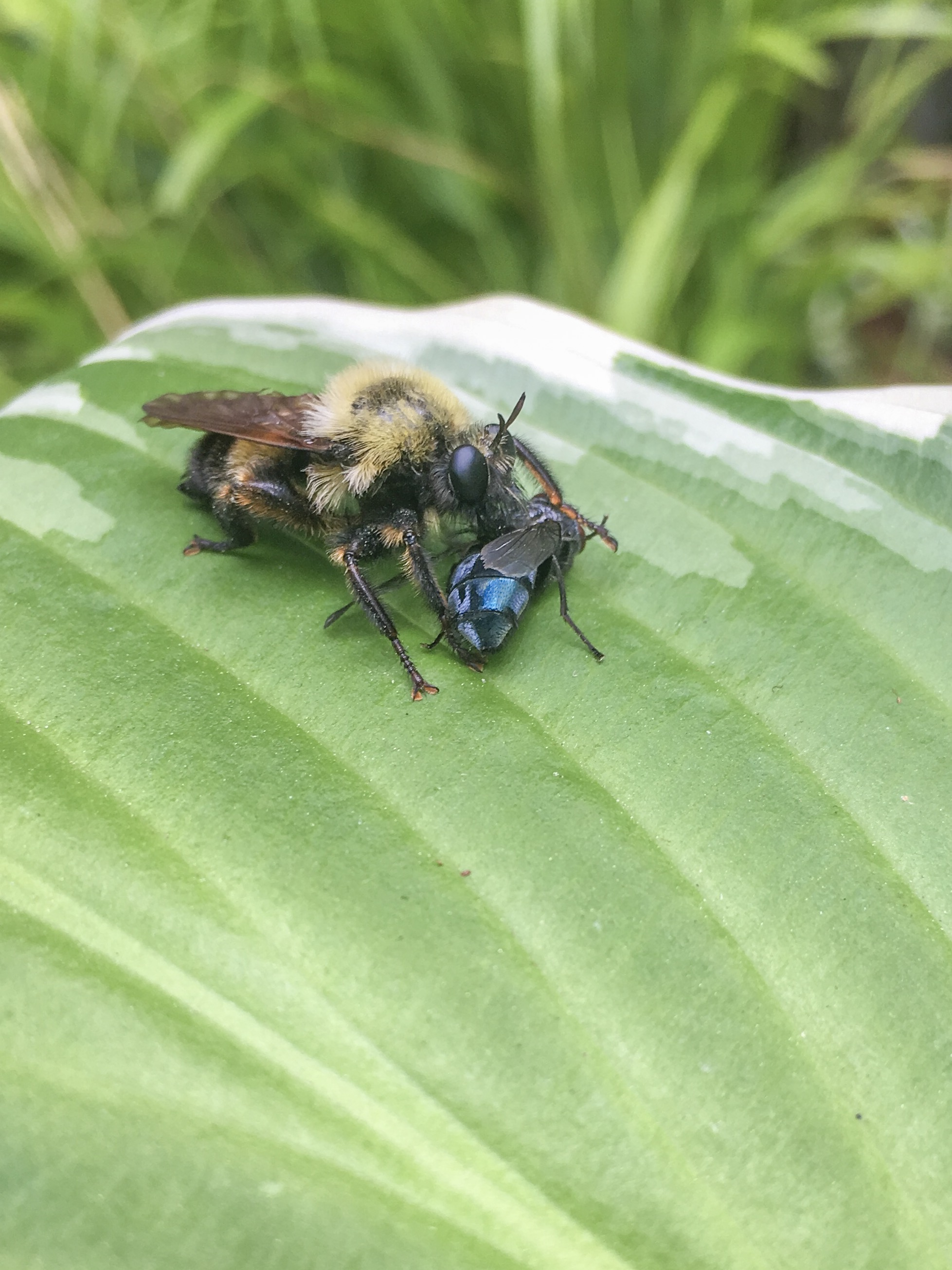 A Robber Fly taking care of business (free pest control)