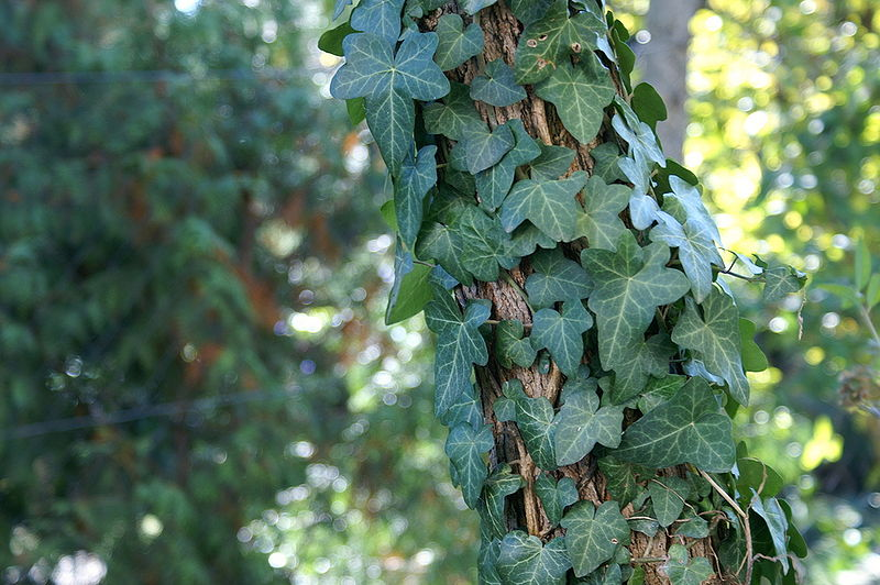 800px-Hedera_helix_clinging.jpg