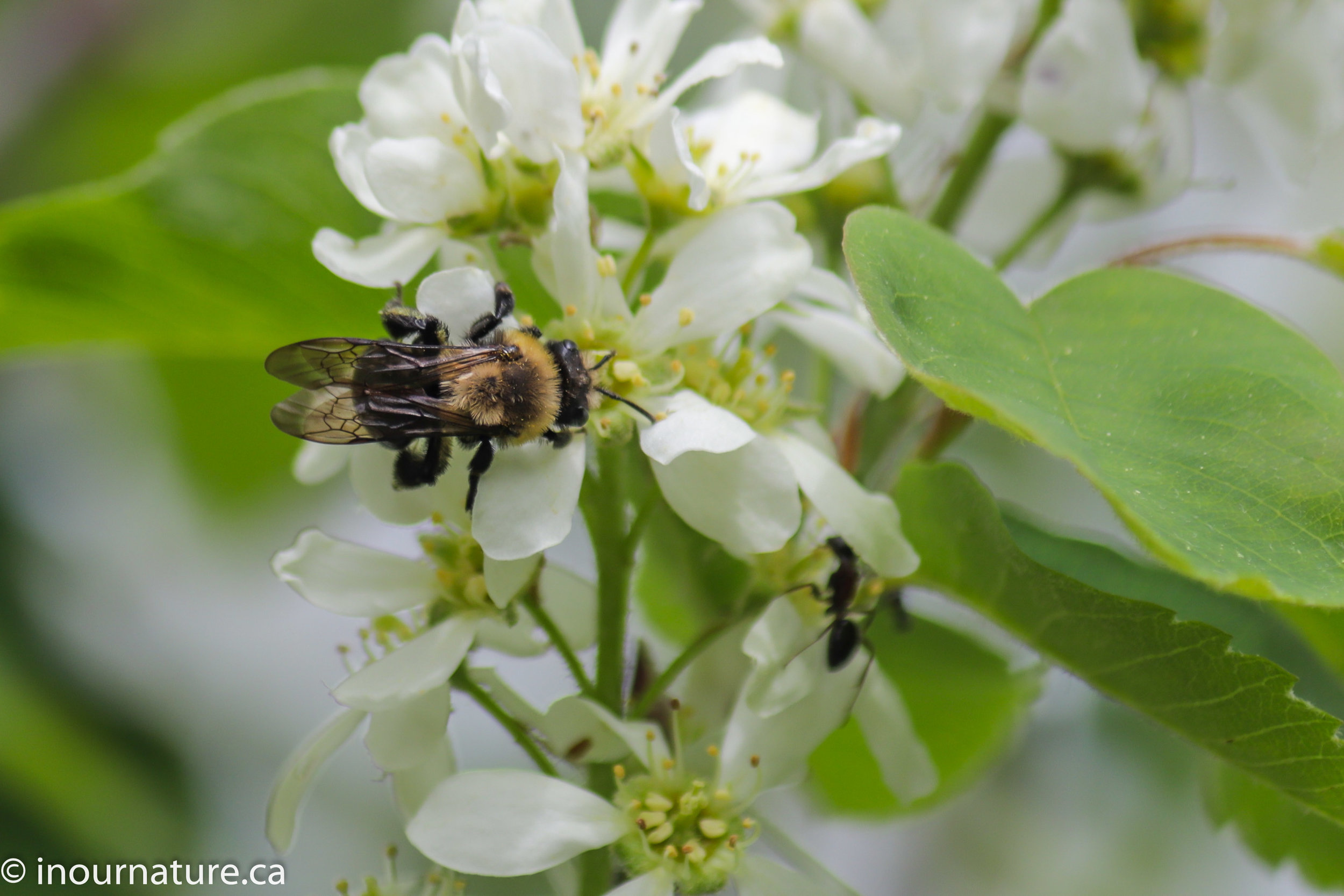 Carpenter Bee feeding off Serviceberry flowers