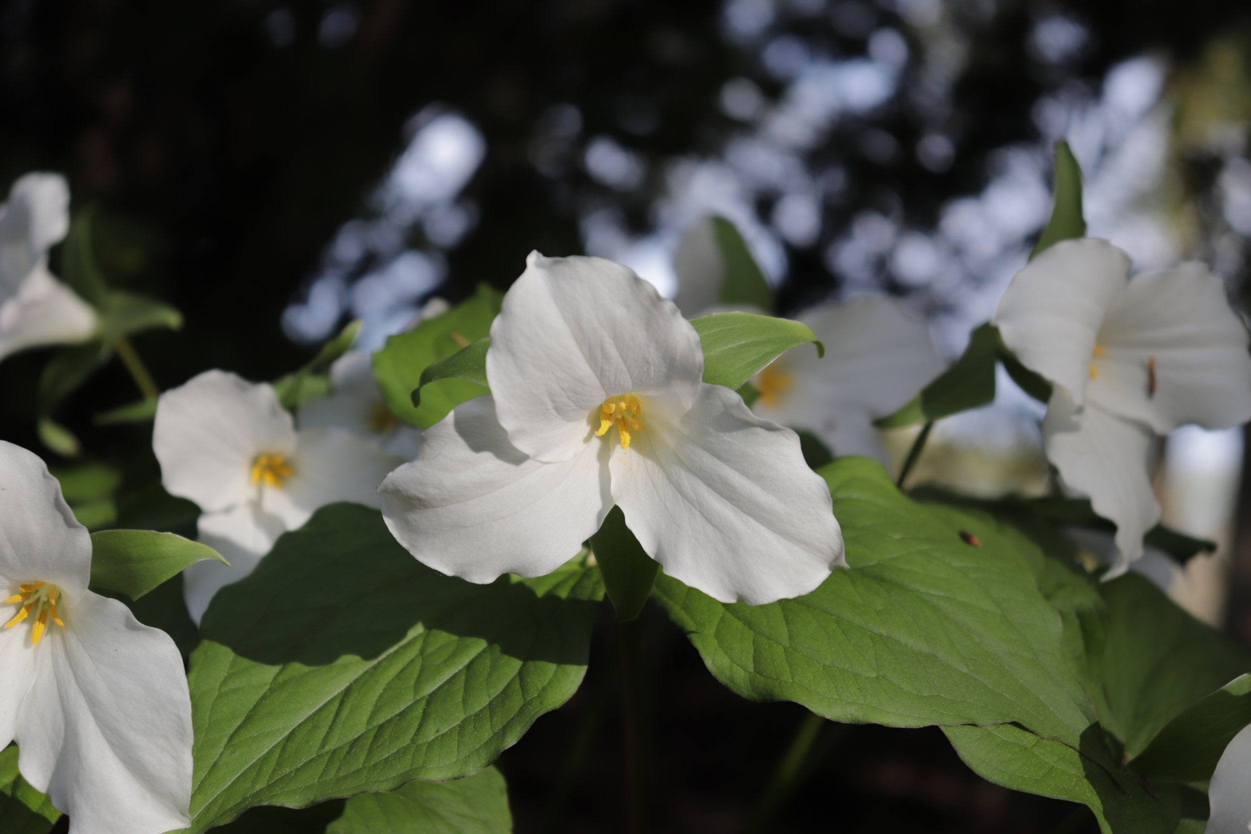 Trilliums do very well in a garden setting