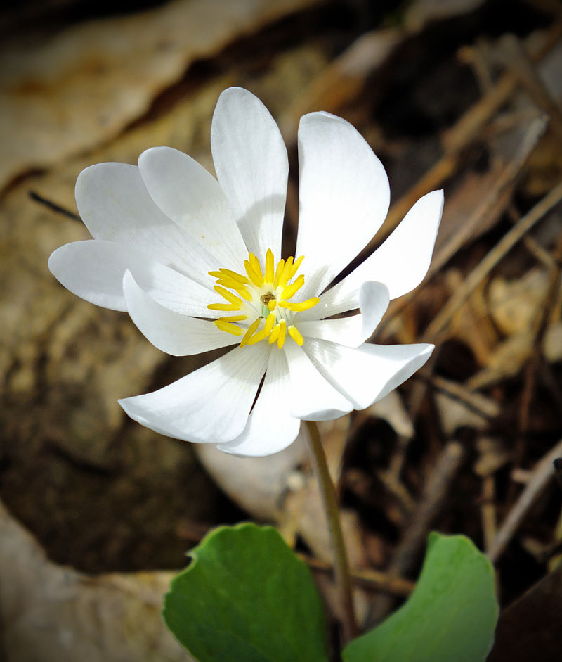 Sanguinaria_canadensis_William_Penn_State_Forest.jpg