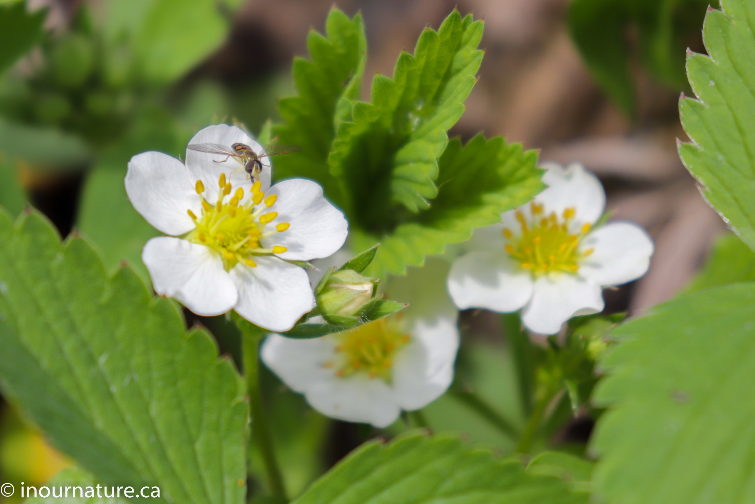 Wild Strawberry -  Fragaria virginiana