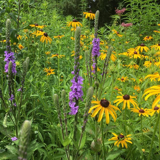 Wildflower meadows are a beautiful, low maintenance alternative to lawn as they only need to be mown once a year. In this seeded meadow the tall purple flower spikes of Verbena stricta contrast nicely with the yellow of Rudbeckia hirta. #pollinators #gardenideas #savethebees #nativeplants #landscaping #orangevilleontario #biodiversity #lawncare #lawn #landscapedesign