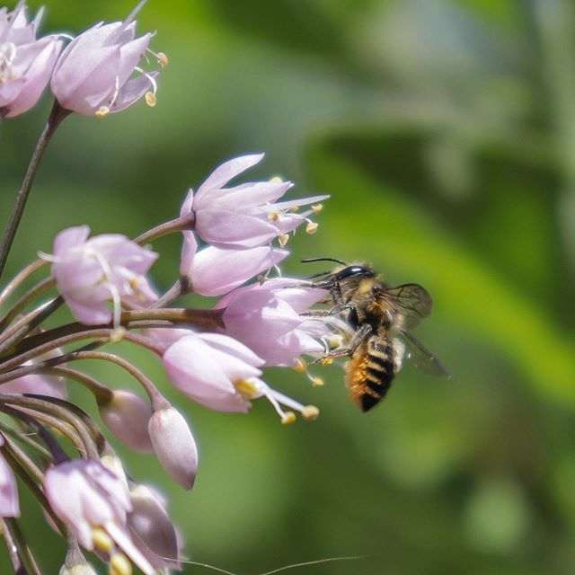 Pollinators give this plant the nod of approval. ~Nodding Onion (Allium cernuum)~ Drought tolerant, clumping, edible and easy to grow from seed! #nativeplants #pollinatorgarden #savethebees #biodiversity #landscaping #orangevilleontario #gardendesign