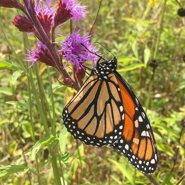 Liatris aspera is a beacon for hungry Monarchs.  #nativeplants #landscaping #gardendesign #biodiversity #orangevilleontario #backyardconservation #summer #butterflygarden