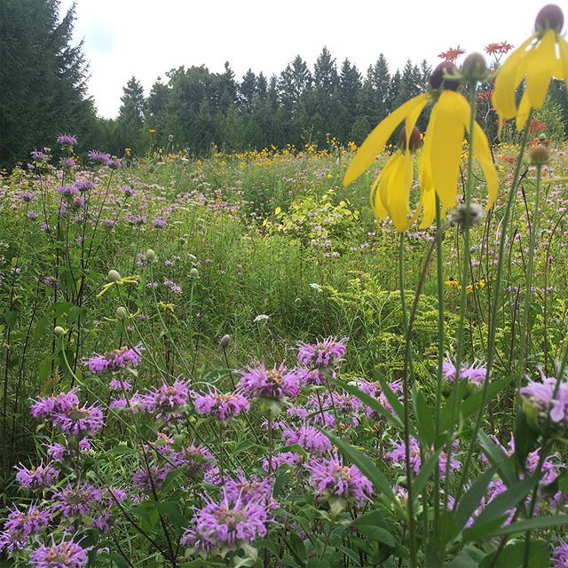 Lawn care? Let's try earth care instead. Converting part of your lawn to a native plant meadow can help mitigate climate change, provide habitat for wildlife and reduce maintenance on your property(meadows only require mowing once a year!). #nativeplants #lawncare #landscaping #orangevilleontario #lawn #biodiversity #pollinators