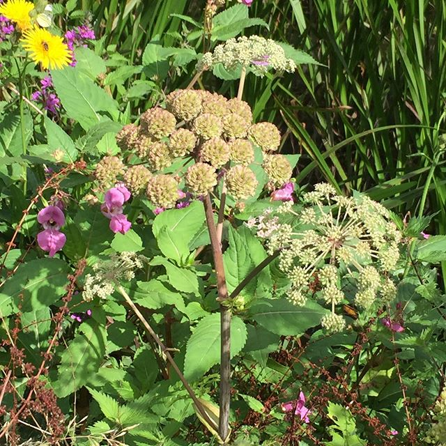 A beautiful September walk out to forage some of the delights of late summer and we happened across a big patch of Angelica. They're still in flower and being loved by the bees so one to admire and not pick 🐝#foraging, #tonicwater, #tonic