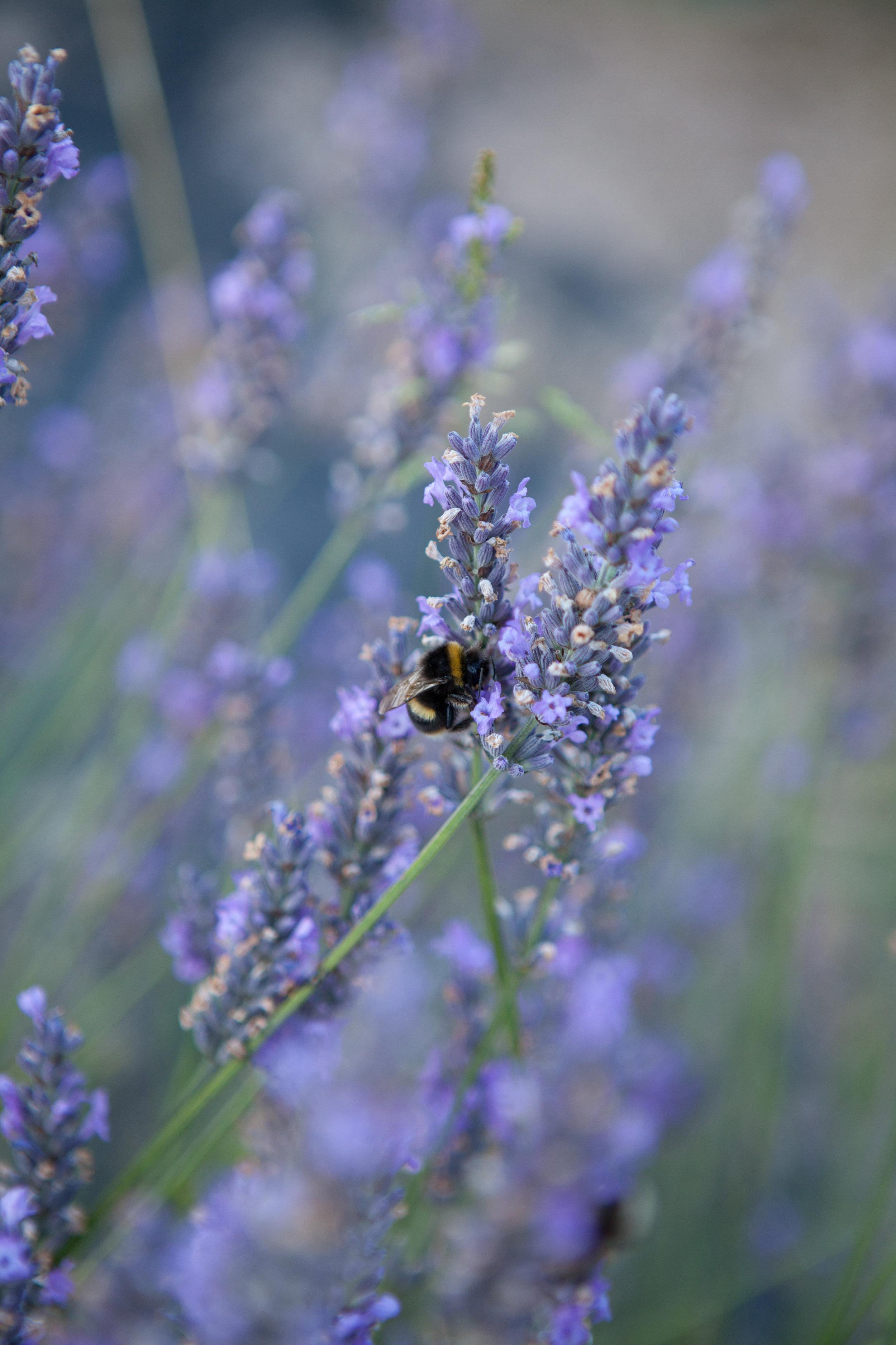 welsh lavender-9.jpg