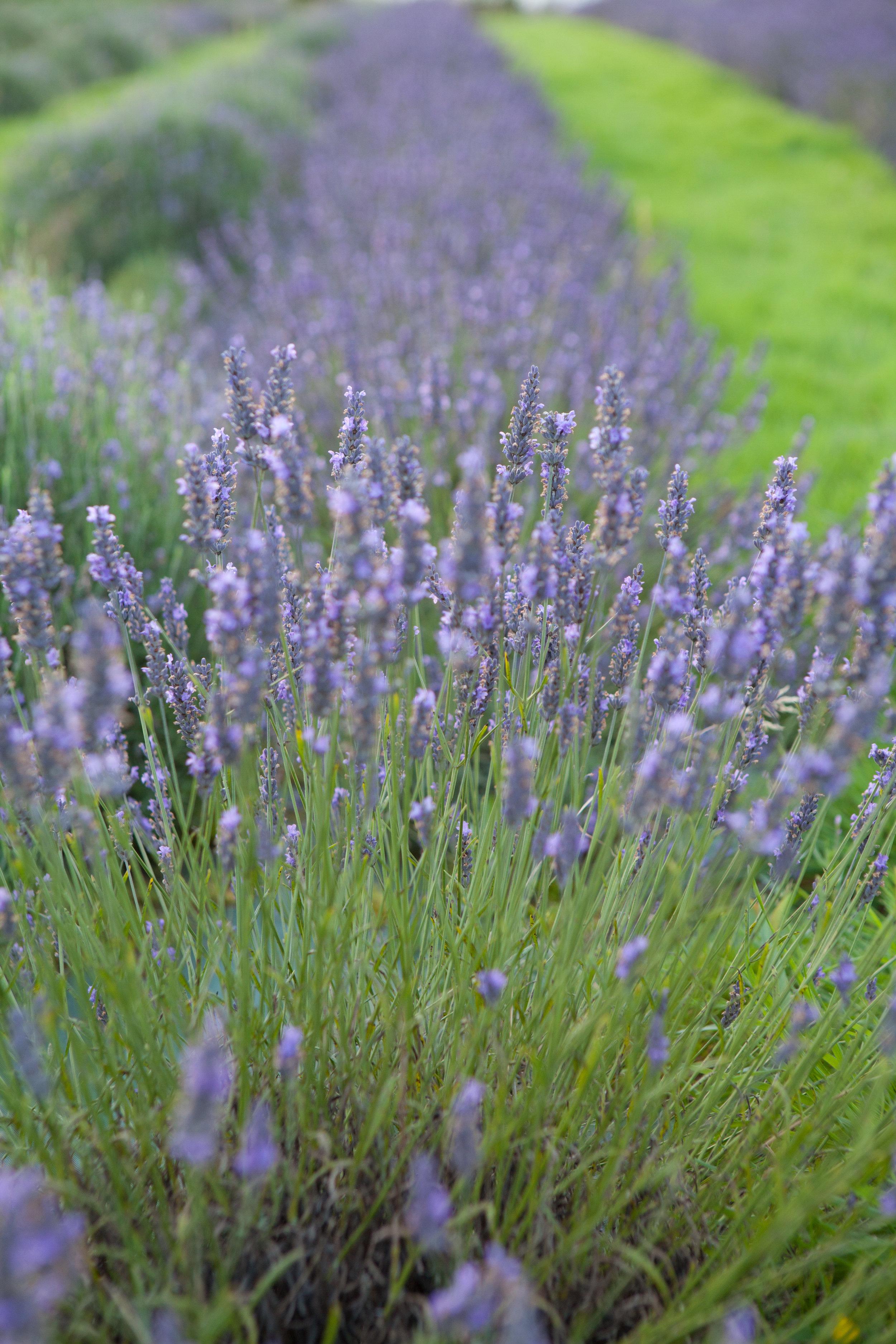 welsh lavender-7.jpg