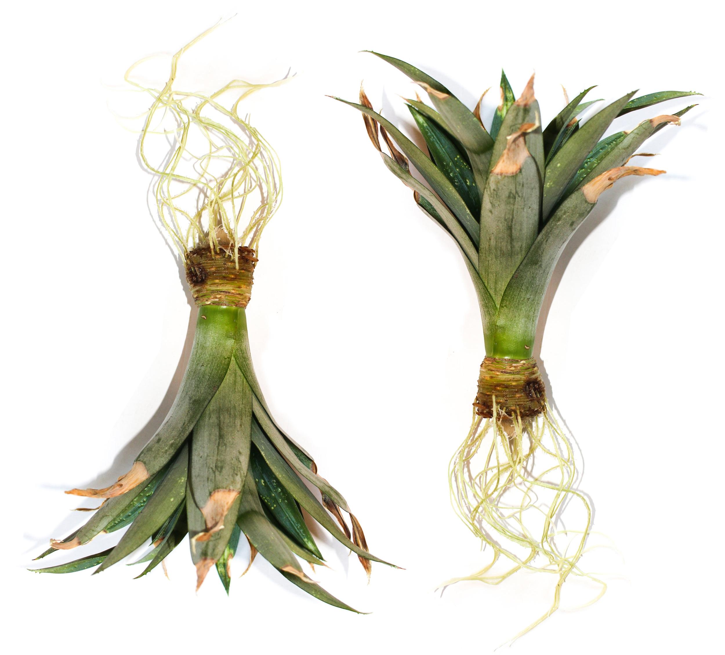 pineappleroots.jpg